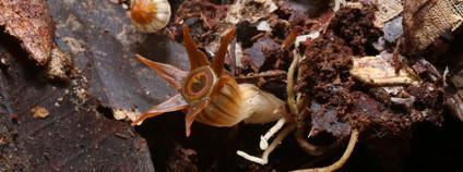 Thismia inconspicua objevená na Borneu olomouckými přírodovědci Foto: Michal Sochor / Univerzita Palackého v Olomouci