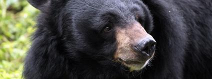 Medvěd himalájský Foto: flowcomm Flickr