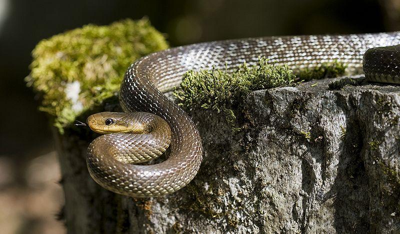 Užovka stromová či užovka Aeskulapova (Zamenis longissimus) je nejedovatý had z čeledi užovkovitých.