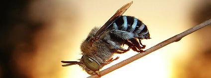 Včela. Foto: Aussiegall/Flickr