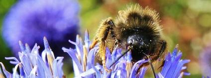 Včela na květu Foto: will668 Flickr.