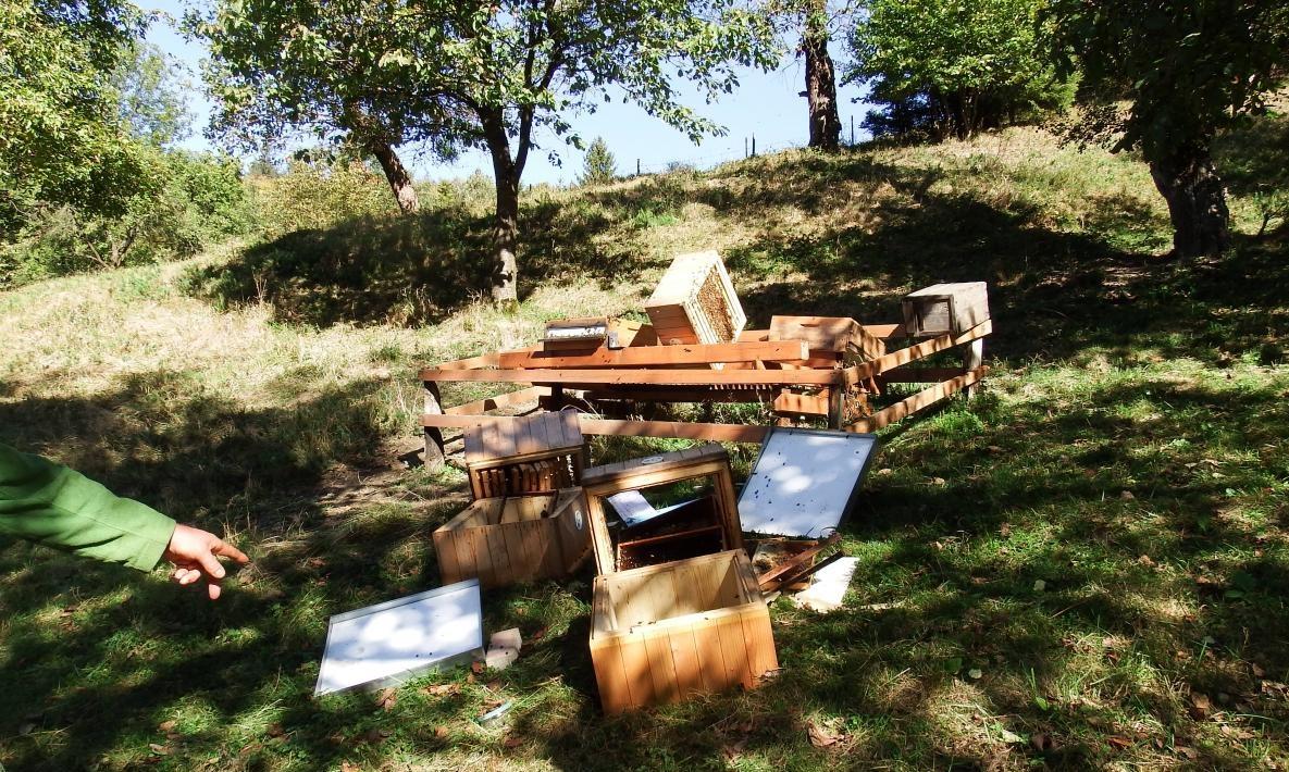 Medvěd se objevil na Valašsku v polovině září, přešel také na Zlínsko, poté se vrátil na Vsetínsko. Potrhal ovce, kozy, zničil také včelíny.