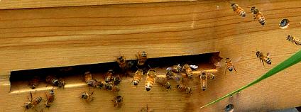 Včely u úlu Foto: jessicareeder Flickr