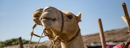 Velbloudi v Keni Foto: Eric Hunsperger Flickr