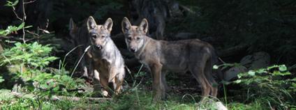 Vlčata narozená vlkům v Beskydech Foto: Martin Duľa Mendelu