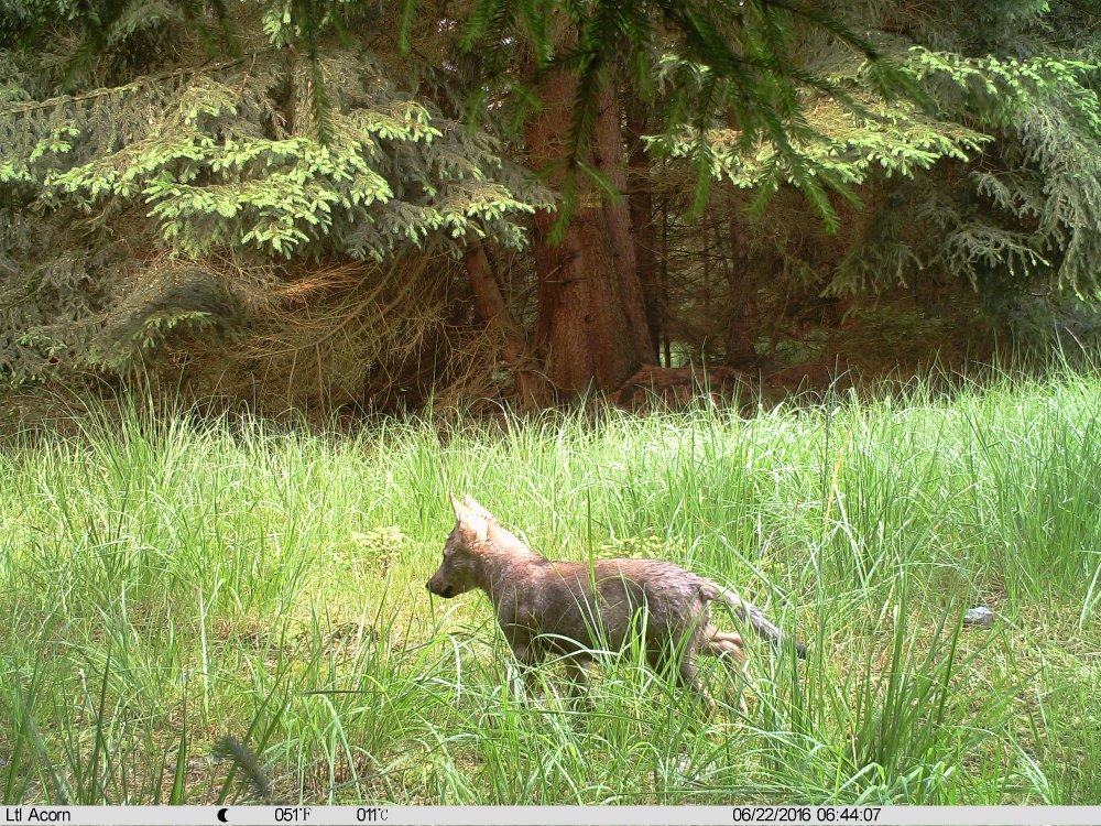 V oblasti na jih od Třeboně na Jindřichohradecku se rozmnožil pár vlků.  Podle snímků z e28a8b4a85