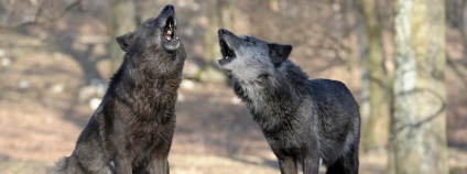 Vlci vyjí Foto: Walter Vorbeck / vetmeduni.ac.at