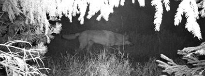 Vlk, zachycený na fotopast v Orlických horách na konci září Foto: Hnutí Duha Olomouc