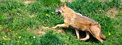 Vlk iberský (Canis Lupus Signatus). Foto: chausinho/Flickr