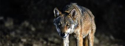 Vlk iberský Foto: Mark Chinnick Flickr