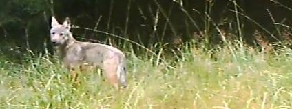 Vlk zachycen� na videu z fotopasti v M�chov� kraji Foto: AOPK �R