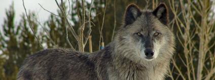 Vlk Foto: Dennis Matheson Flickr