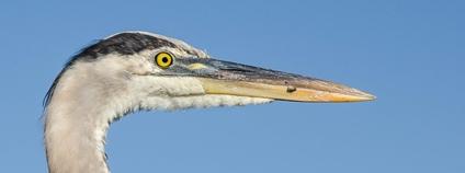 Volavka velká Foto: Wilfred Hdez Flickr