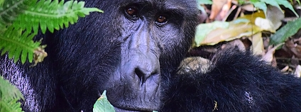 Gorila horská Foto: markjordahl Pixabay
