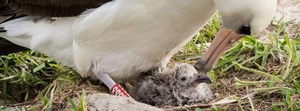 Samice albatrosa laysanského Wisdom - nejstarší známý pták Foto: National Marine Sanctuaries Wikimedia Commons
