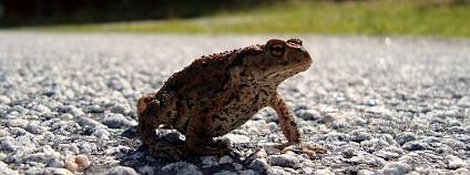 Žába na silnici