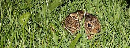 Mladý zajíc v trávě Foto: Tobias H / Flickr.com