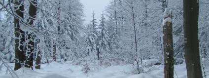 Zasněžený bukový les v Jizerských horách Foto: Martin Mach Ondřej Ekolist.cz