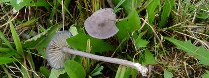Závojenka kruhatá (Entoloma violaceozonatum), Paseky nad Jizerou. Foto: Fellner a Landa 2020 Správa KRNAP