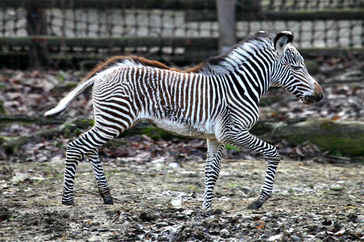 Mia (na obrázku) je potomkem samice Míši a samce Florise. Zebry Grévyho jsou největší a nejseverněji žijící zvířata svého druhu. Jde o nejohroženější druh zebry. Za posledních 30 let klesly počty těchto zvířat ve volné přírodě na pouhou pětinu, asi na 2700.