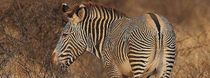 Zebra Grévyho v Keni Foto: Steve Garvia Flickr.com