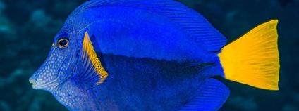 Bodlok fialový Foto: Francois Libert Flickr