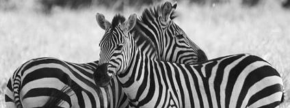 Zebry v Mara Conservancy, Masai Mara v Keni Foto: ROSS HONG KONG / Wikimedia Commons