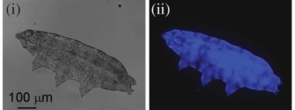 Přirozeně se vyskytující fluorescence chrání želvušky před ultrafialovým záření Foto: Harikumar R. Suma , Swathi Prakash and Sandeep M. Eswarapp