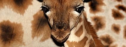 Mládě žirafy Rothschildovy Foto: Zoo Ostrava