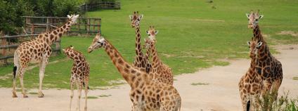 Žirafy v Zoo Ústí nad Labem Foto: PavelSvoboda Shutterstock.com