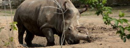 Nabir�, samice severn�ho b�l�ho nosoro�ce Foto: Hynek Glos / ZOO Dv�r Kr�lov�