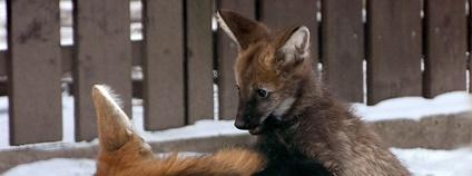 V Zoo Hodonín se narodilo mládě vlka hřivnatého Foto: Zoo Hodonín