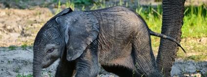 Sameček slona afrického narozený ve zlínské zoo Foto: ZOO a zámek Zlín - Lešná / Facebook