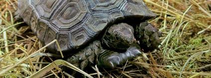 Mládě želvy mohutné Foto: Zoo Zlín