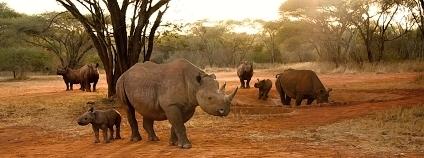 Díky zoologickým zahradám vzniká v Mkomazi jedna z pouhých tří populací nosorožce dvourohého v Tanzanii. Na snímku je zcela vpředu samice Zawadi se svou dcerou Georginou. V napajedle je samice Grumeti, která stejně jako Zawadi pochází ze zoo v Port Lympne. Vedle Grumeti stojí její dcera Mobo a hned za Mobo je Hilla. Matkou Hilly je z dvorské zoo pocházející Deborah, která je na snímku vlevo. Za Deborah ještě vykukuje její druhá dcera Tunu. Otcem všech čtyř mláďat narozených v Tanzanii je Jamie původem ze ZOO Dvůr Králové. Foto z roku 2016.