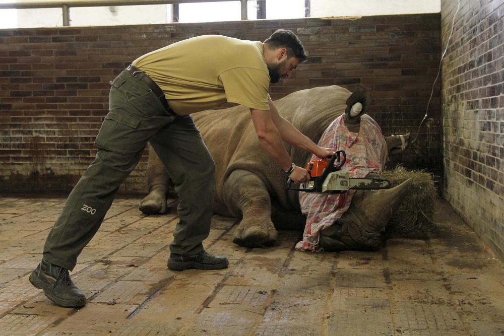 ZOO Dvůr Králové chce chránit své nosorožce. V rámci bezpečnostních opatření jim v pondělí 20. března 2017 začala odstraňovat rohovinu.