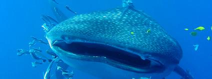 Žralok obrovský Foto: otolithe (olivier roux) Flickr