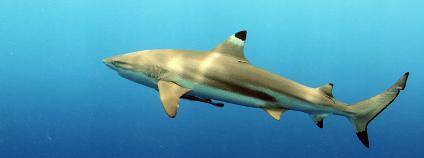 Žralok černoploutvý Foto: Klaus Stiefel / Flickr.com