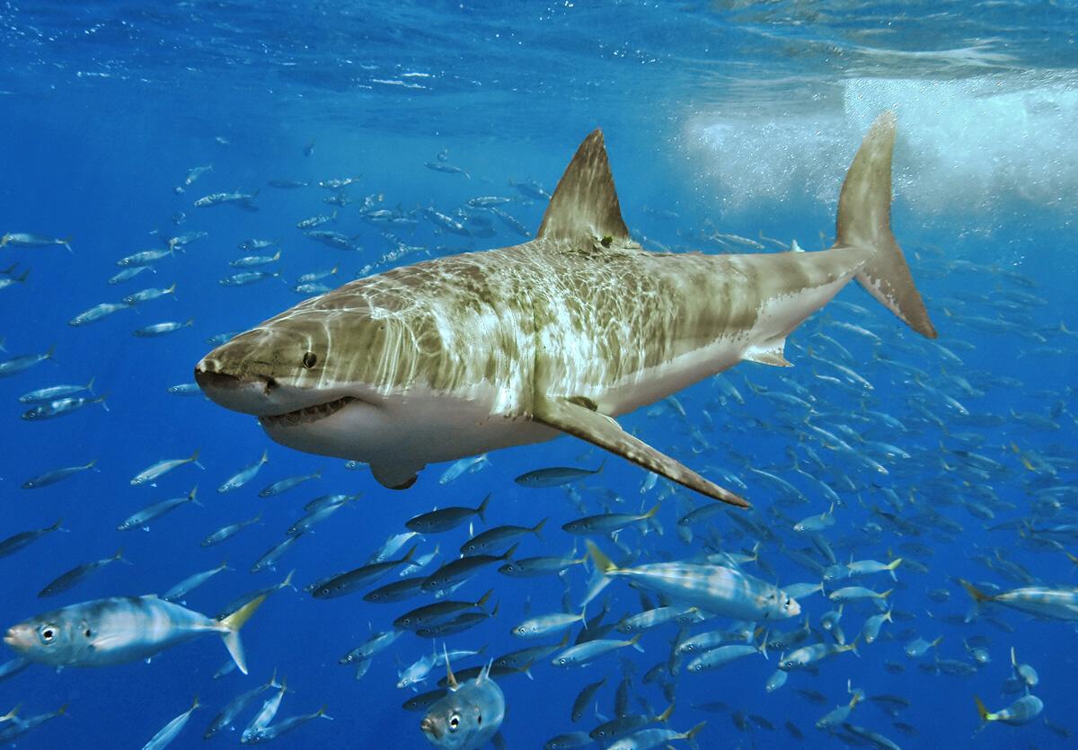Západní austrálie upouští od systematického odchytu žraloků